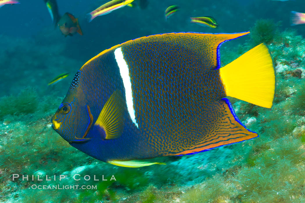 Image 27475, King angelfish in the Sea of Cortez, Mexico. Sea of Cortez, Baja California, Mexico, Holacanthus passer