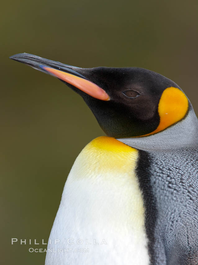 King penguin, showing ornate and distinctive neck, breast and head plumage and orange beak. Fortuna Bay, South Georgia Island, Aptenodytes patagonicus, natural history stock photograph, photo id 24653