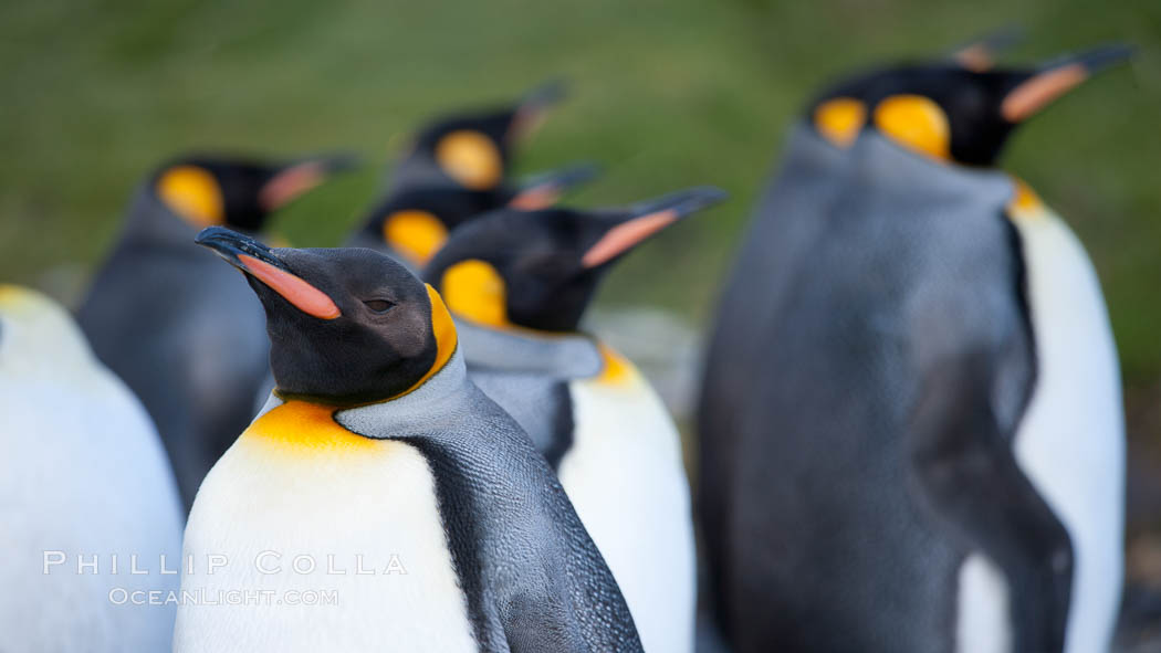 King penguins, showing ornate and distinctive neck, breast and head plumage and orange beak. Grytviken, South Georgia Island, Aptenodytes patagonicus, natural history stock photograph, photo id 24463