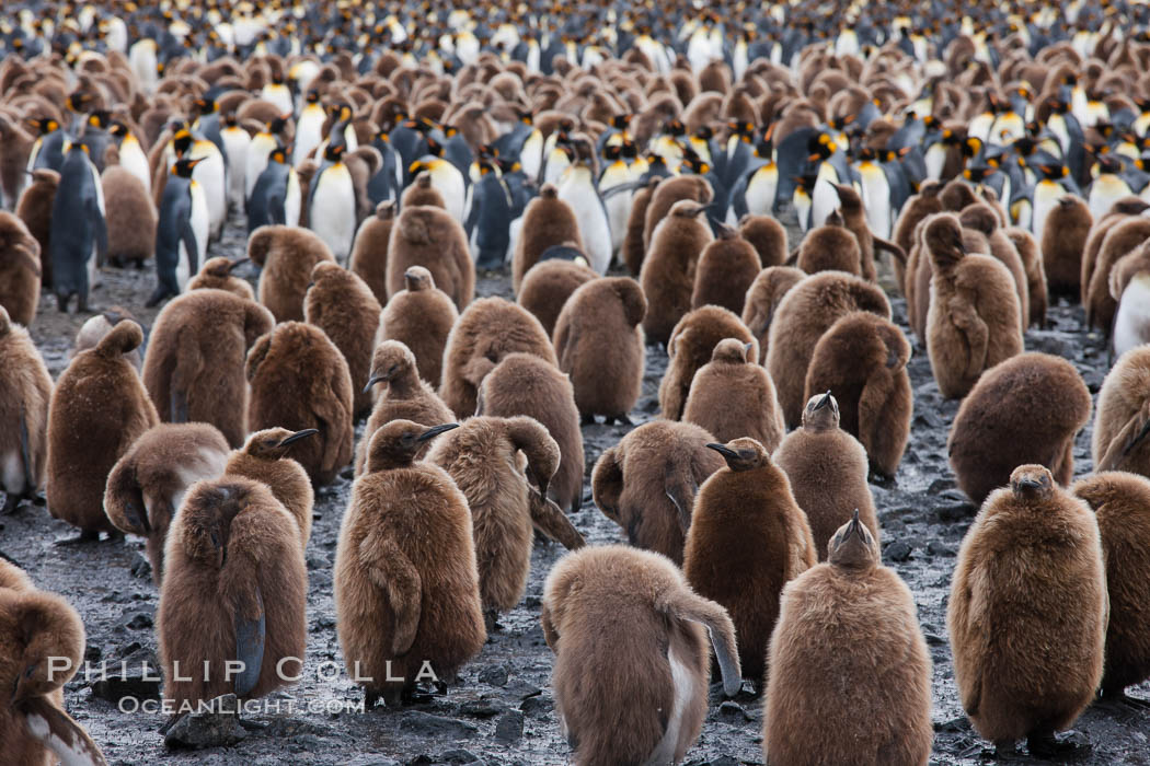 Oakum boys, juvenile king penguins at Salisbury Plain, South Georgia Island.  Named 'oakum boys' by sailors for the resemblance of their brown fluffy plumage to the color of oakum used to caulk timbers on sailing ships, these year-old penguins will soon shed their fluffy brown plumage and adopt the colors of an adult. Salisbury Plain, South Georgia Island, Aptenodytes patagonicus, natural history stock photograph, photo id 24535