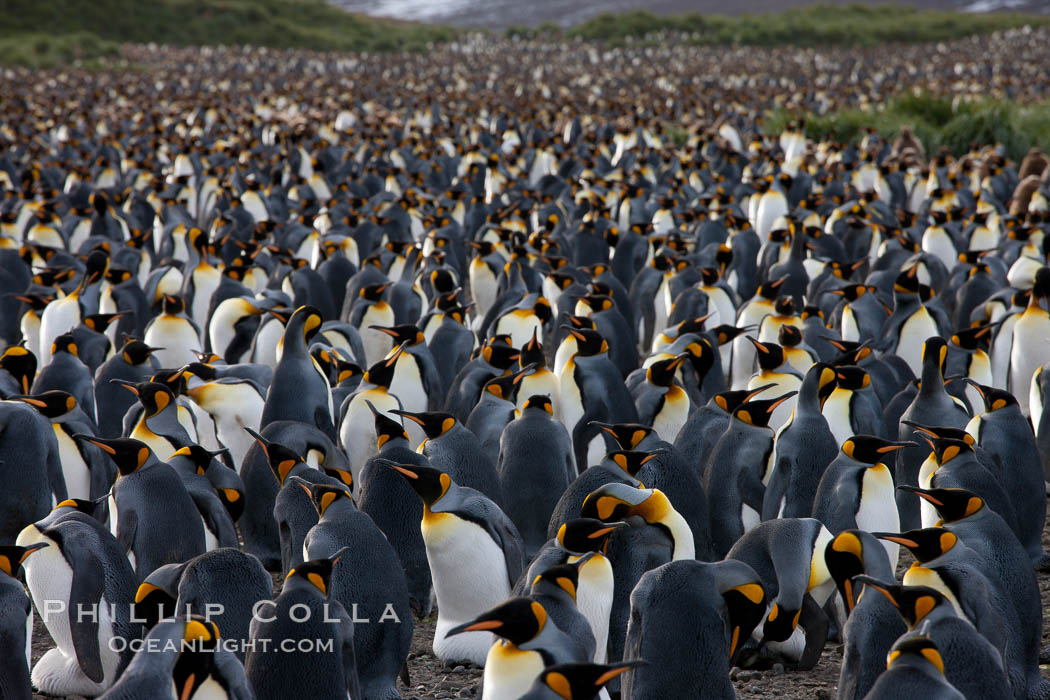 King penguin colony at Salisbury Plain, Bay of Isles, South Georgia Island.  Over 100,000 pairs of king penguins nest here, laying eggs in December and February, then alternating roles between foraging for food and caring for the egg or chick. Salisbury Plain, South Georgia Island, Aptenodytes patagonicus, natural history stock photograph, photo id 24545