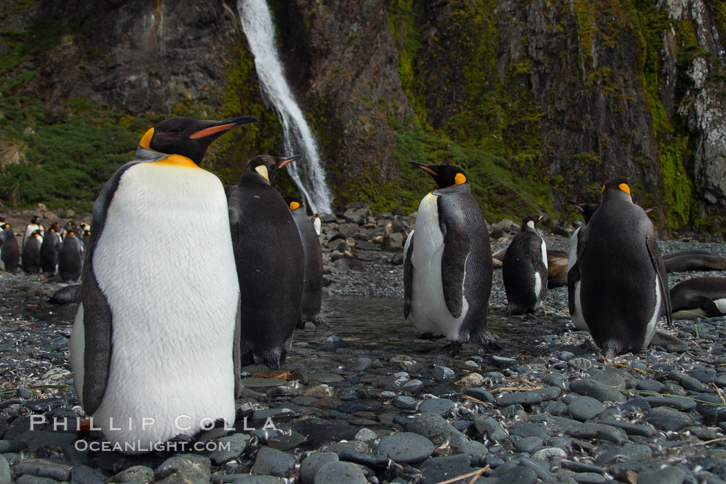 King penguins gather in a steam to molt, below a waterfall on a cobblestone beach at Hercules Bay. Hercules Bay, South Georgia Island, Aptenodytes patagonicus, natural history stock photograph, photo id 24557