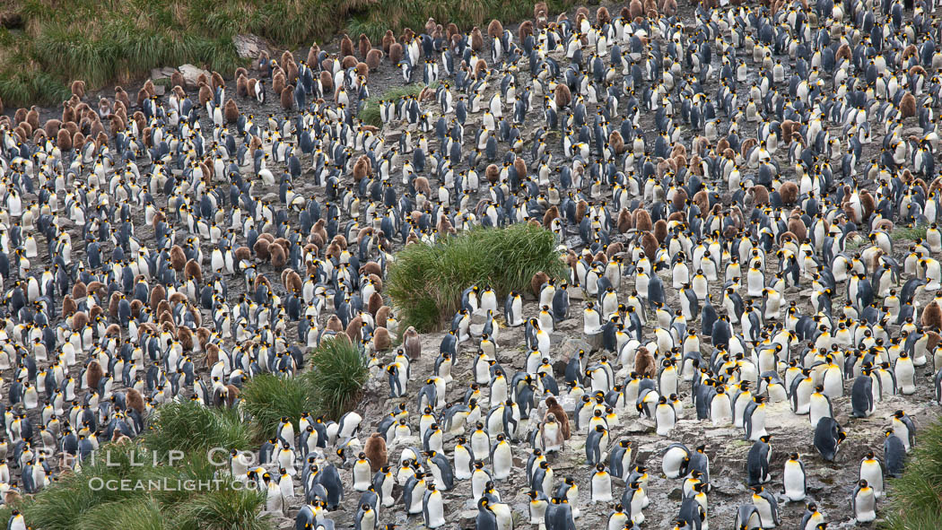 King penguins at Salisbury Plain. Salisbury Plain, South Georgia Island, Aptenodytes patagonicus, natural history stock photograph, photo id 24528