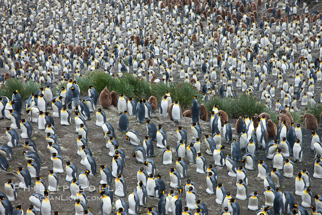 King penguin colony. Over 100,000 pairs of king penguins nest at Salisbury Plain, laying eggs in December and February, then alternating roles between foraging for food and caring for the egg or chick. Salisbury Plain, South Georgia Island, Aptenodytes patagonicus, natural history stock photograph, photo id 24531
