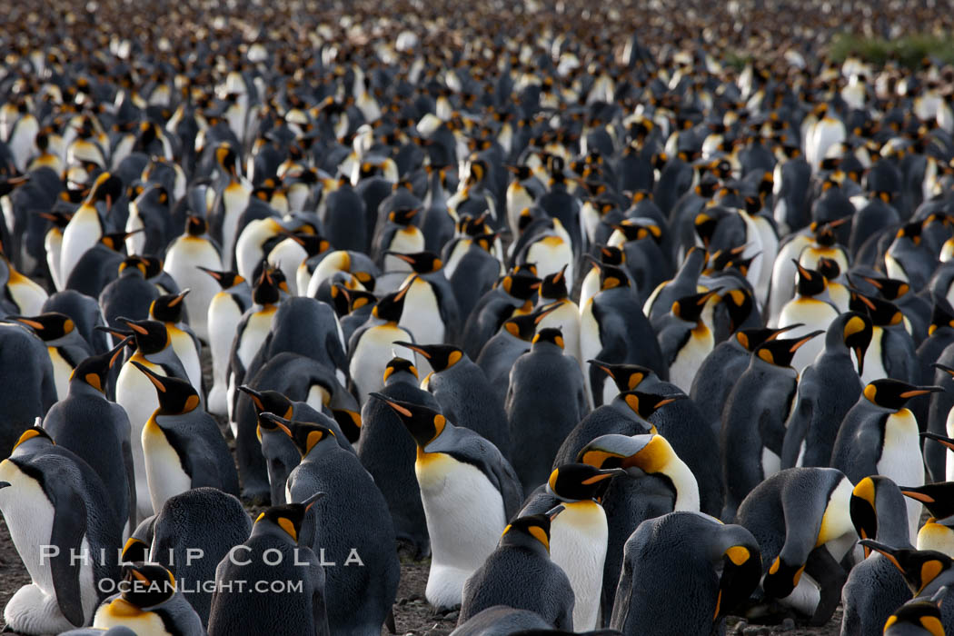 King penguin colony at Salisbury Plain, Bay of Isles, South Georgia Island.  Over 100,000 pairs of king penguins nest here, laying eggs in December and February, then alternating roles between foraging for food and caring for the egg or chick. Salisbury Plain, South Georgia Island, Aptenodytes patagonicus, natural history stock photograph, photo id 24411