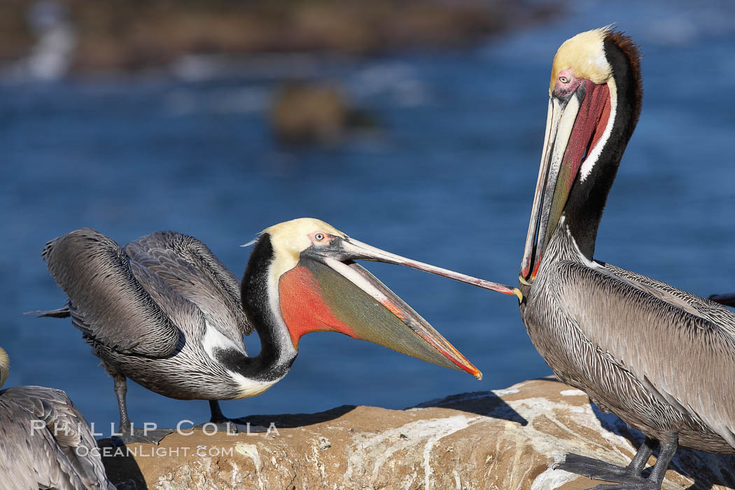 Brown pelicans sparring with beaks, winter plumage, showing bright red gular pouch and dark brown hindneck plumage of breeding adults, Pelecanus occidentalis, Pelecanus occidentalis californicus, La Jolla, California