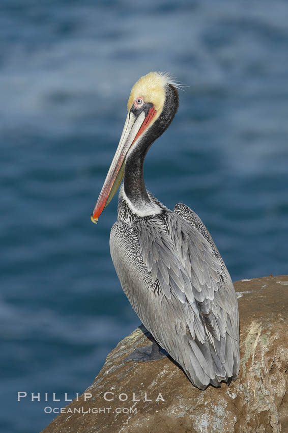 Brown pelican portrait, resting on sandstone cliffs beside the sea, winter mating plumage with distinctive dark brown nape and red gular throat pouch., Pelecanus occidentalis, Pelecanus occidentalis californicus,  Copyright Phillip Colla, image #20157, all rights reserved worldwide.