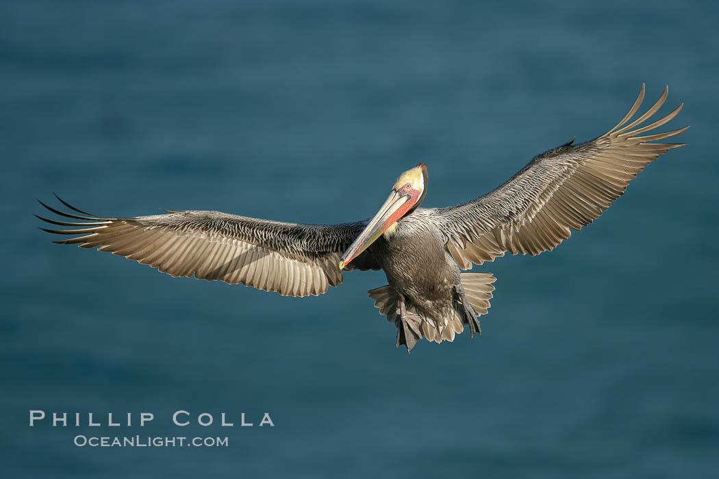 Brown pelican in flight, spreading its wings wide to slow before landing on cliffs overlooking the ocean.  The wingspan of the brown pelican is over 7 feet wide. The California race of the brown pelican holds endangered species status, Pelecanus occidentalis, Pelecanus occidentalis californicus, La Jolla