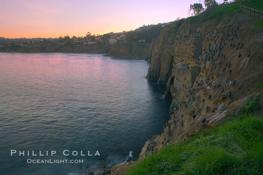 La Jolla Cliffs overlook the ocean with thousands of cormorants, pelicans and gulls resting and preening on the sandstone cliffs.  Sunrise with pink skies.,  Copyright Phillip Colla, image #20254, all rights reserved worldwide.