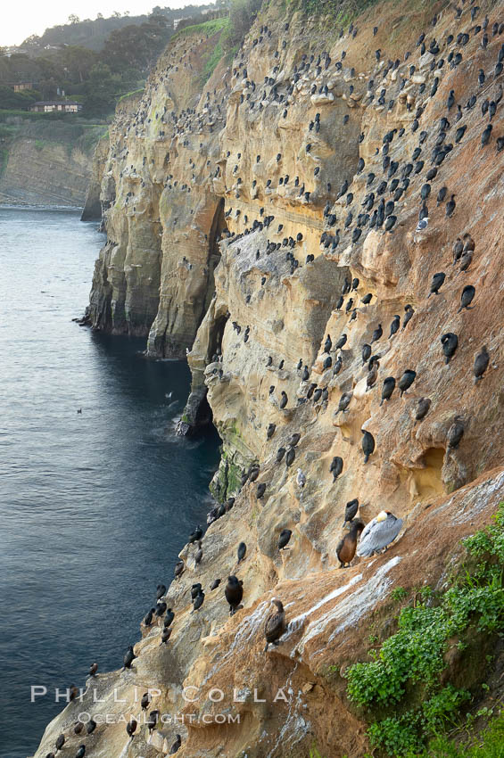La Jolla Cliffs overlook the ocean with thousands of cormorants, pelicans and gulls resting and preening on the sandstone cliffs