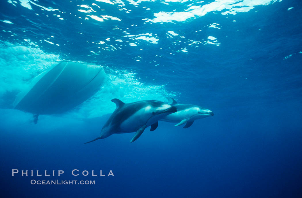 Pacific white sided dolphin underwater - photo#18