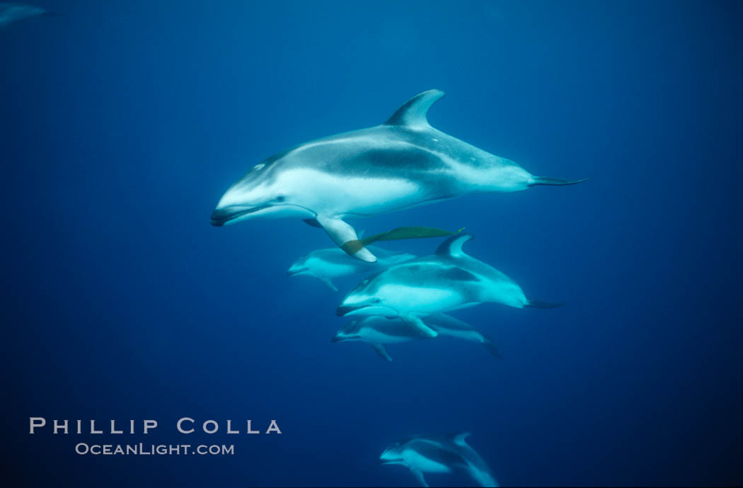 Pacific white sided dolphin, carrying drift kelp. San Diego, California, USA, Lagenorhynchus obliquidens, natural history stock photograph, photo id 00046