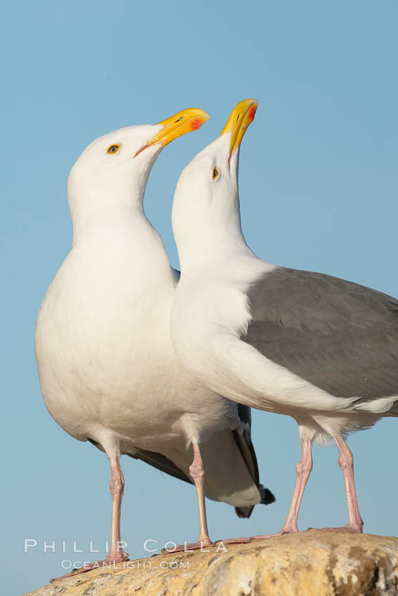 Western gulls, courtship behaviour. La Jolla, California, USA, Larus occidentalis, natural history stock photograph, photo id 18410