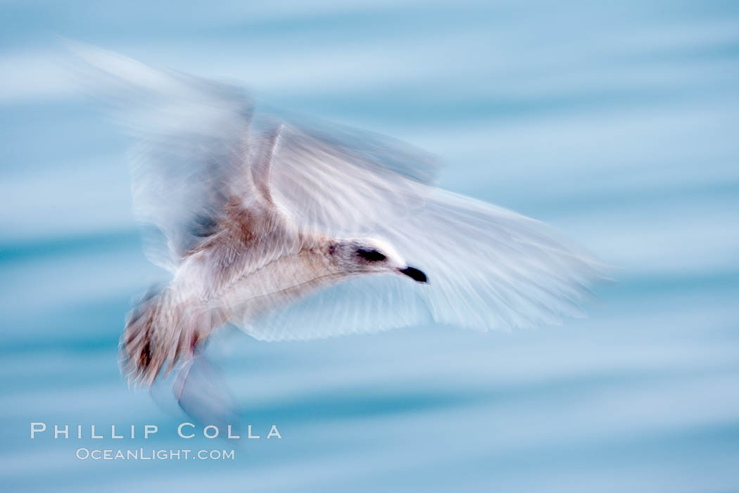 Juvenile gull, blurred as it slows to land. La Jolla, California, USA, Larus, natural history stock photograph, photo id 18466