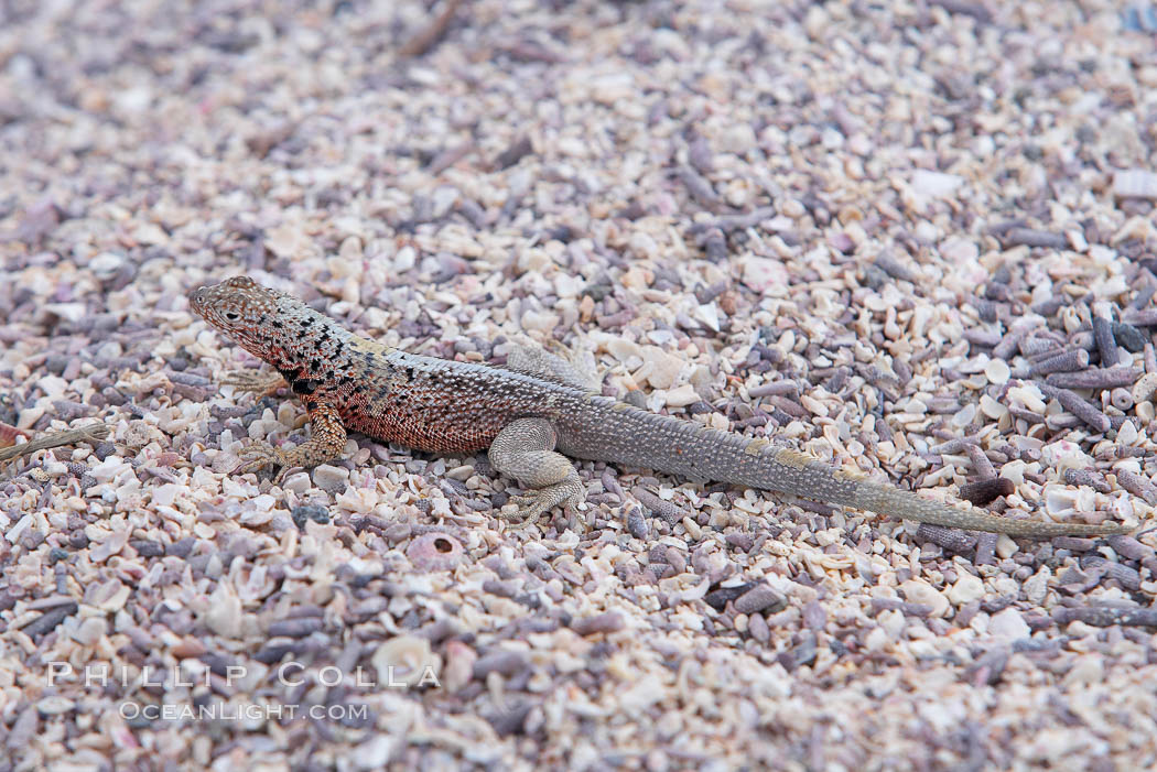 Lava lizard. North Seymour Island, Galapagos Islands, Ecuador, natural history stock photograph, photo id 16584