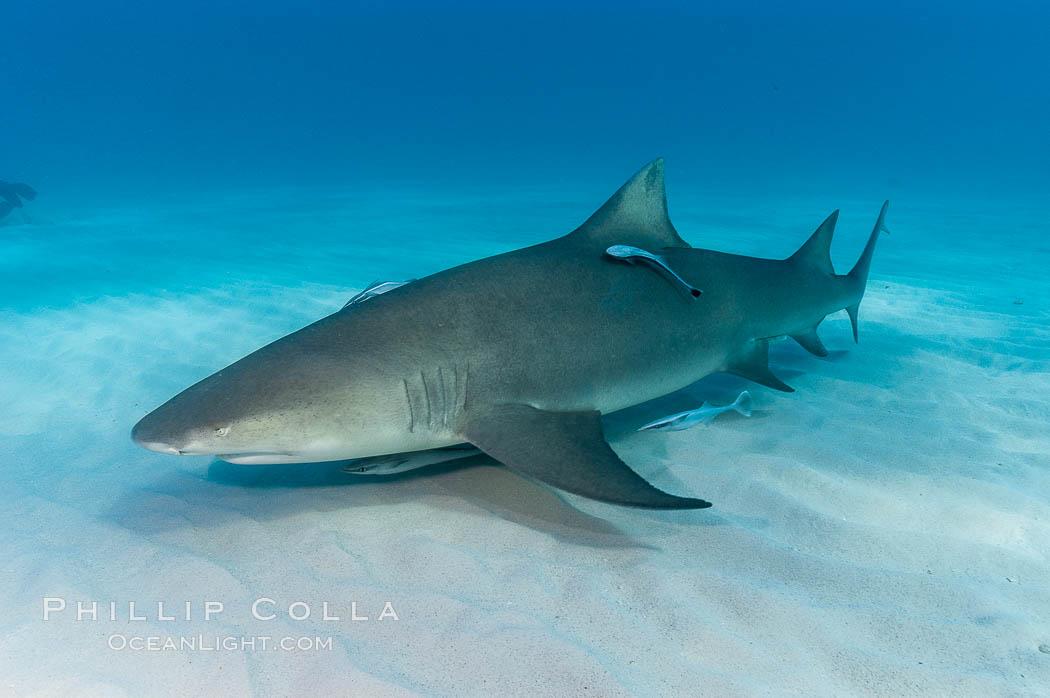 Lemon shark. Bahamas, Negaprion brevirostris, natural history stock photograph, photo id 10751
