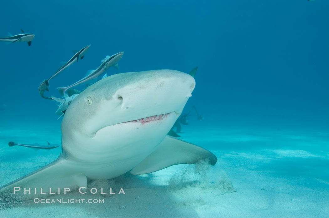 Lemon shark with live sharksuckers. Bahamas, Negaprion brevirostris, Echeneis naucrates, natural history stock photograph, photo id 10768