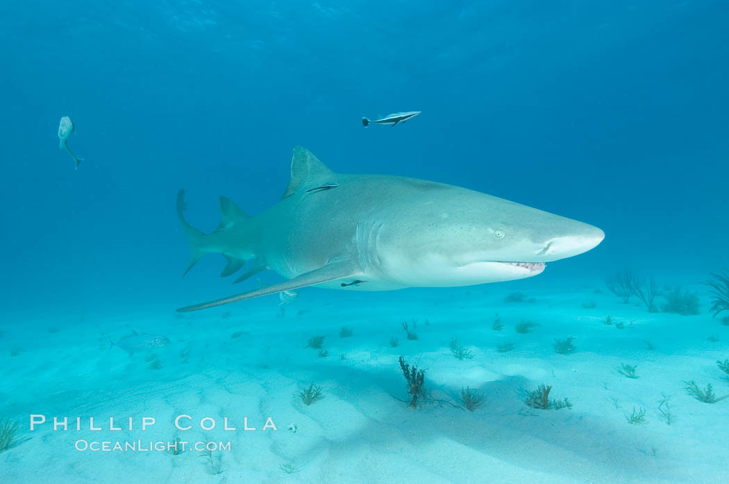Lemon shark. Bahamas, Negaprion brevirostris, natural history stock photograph, photo id 10771