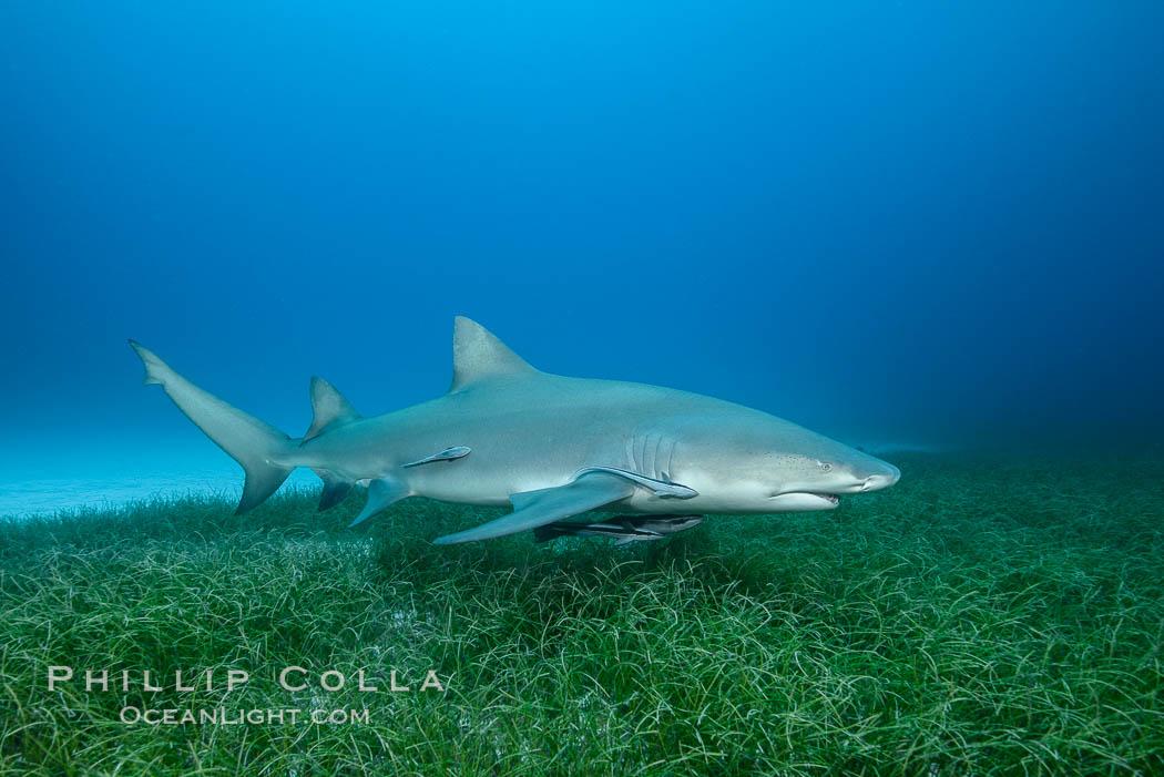 Lemon shark. Bahamas, Negaprion brevirostris, natural history stock photograph, photo id 32024