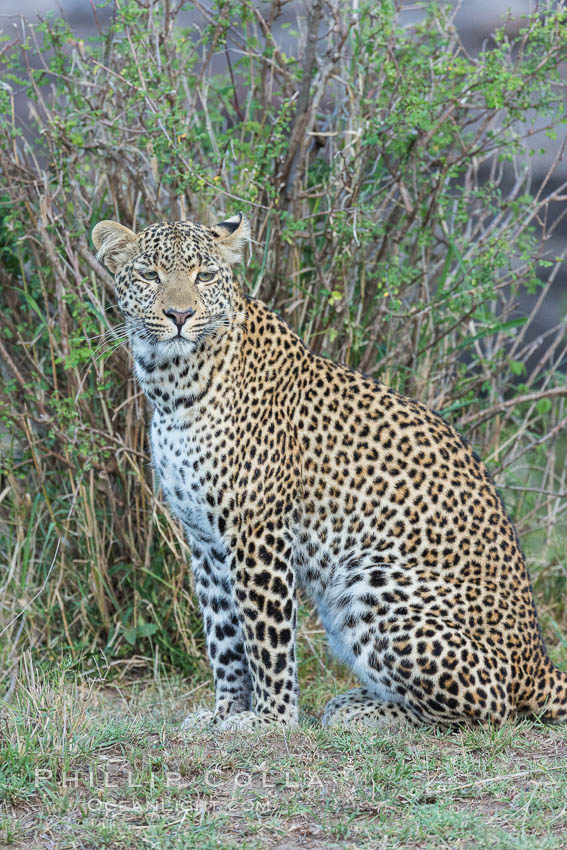 Leopard, Olare Orok Conservancy, Kenya., Panthera pardus, natural history stock photograph, photo id 30028