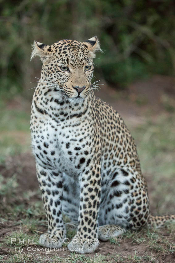 Leopard, Olare Orok Conservancy, Kenya., Panthera pardus, natural history stock photograph, photo id 30044