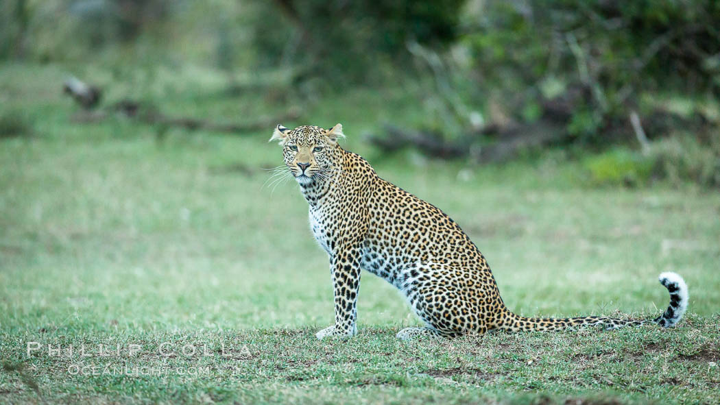 Leopard, Olare Orok Conservancy, Kenya., Panthera pardus, natural history stock photograph, photo id 30035