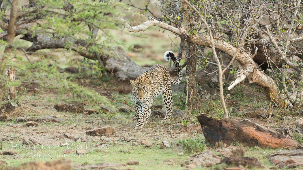 Leopard, Olare Orok Conservancy, Kenya., Panthera pardus, natural history stock photograph, photo id 30075