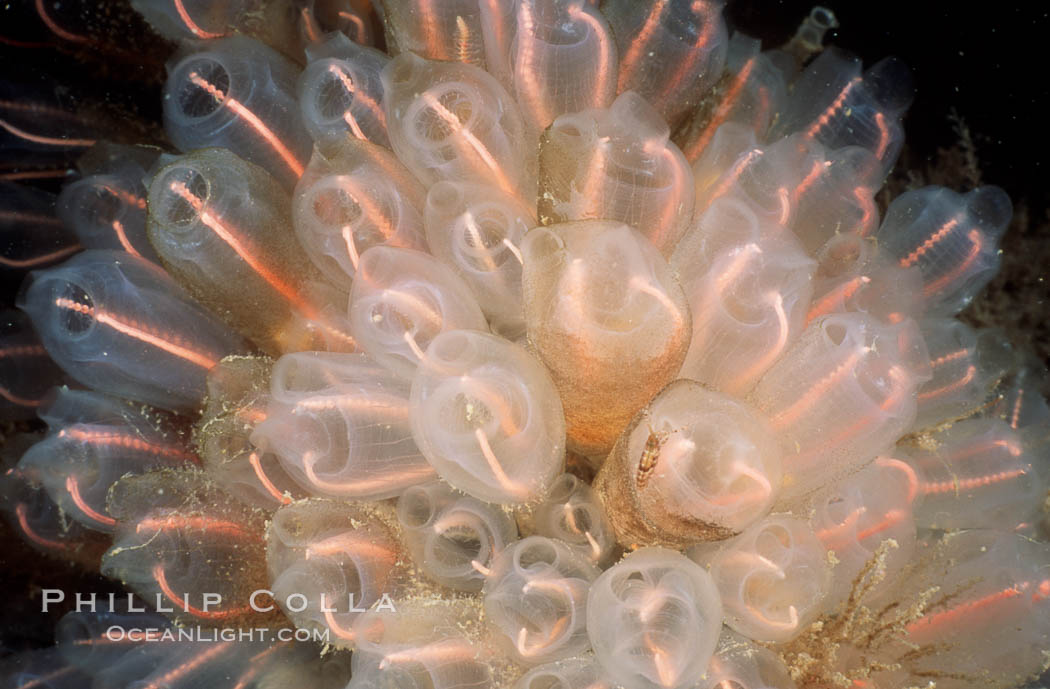 Lightbulb tunicates. San Diego, California, USA, Clavelina huntsmani, natural history stock photograph, photo id 07022