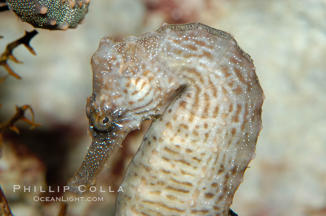 Lined seahorse., Hippocampus erectus, natural history stock photograph, photo id 10293