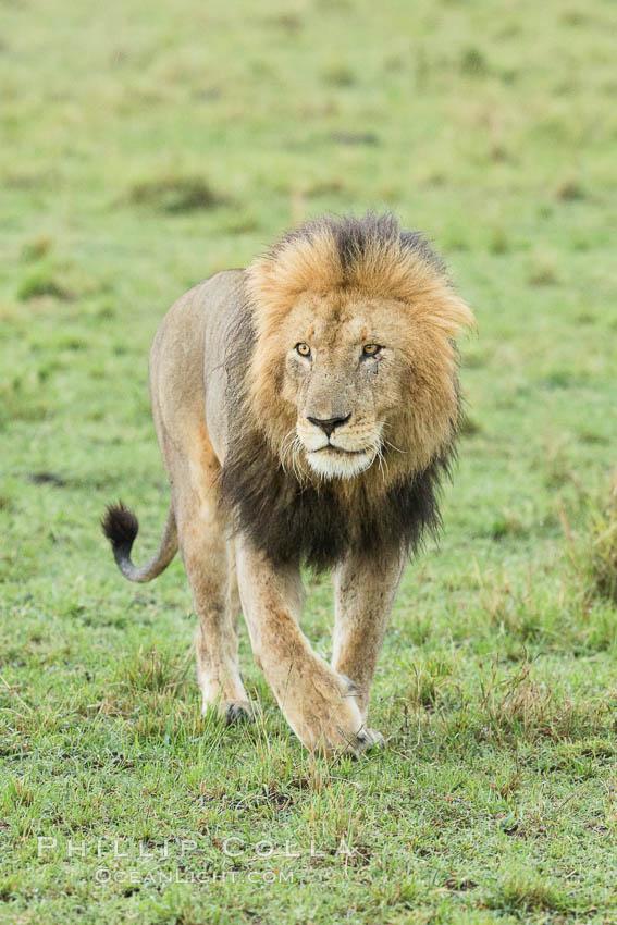 Lion, adult male, Maasai Mara National Reserve, Kenya, Panthera leo