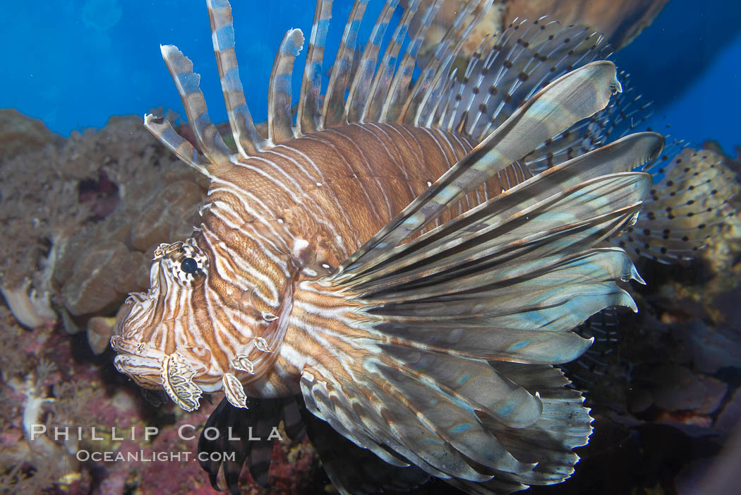 Lionfish., Pterois miles, natural history stock photograph, photo id 14506