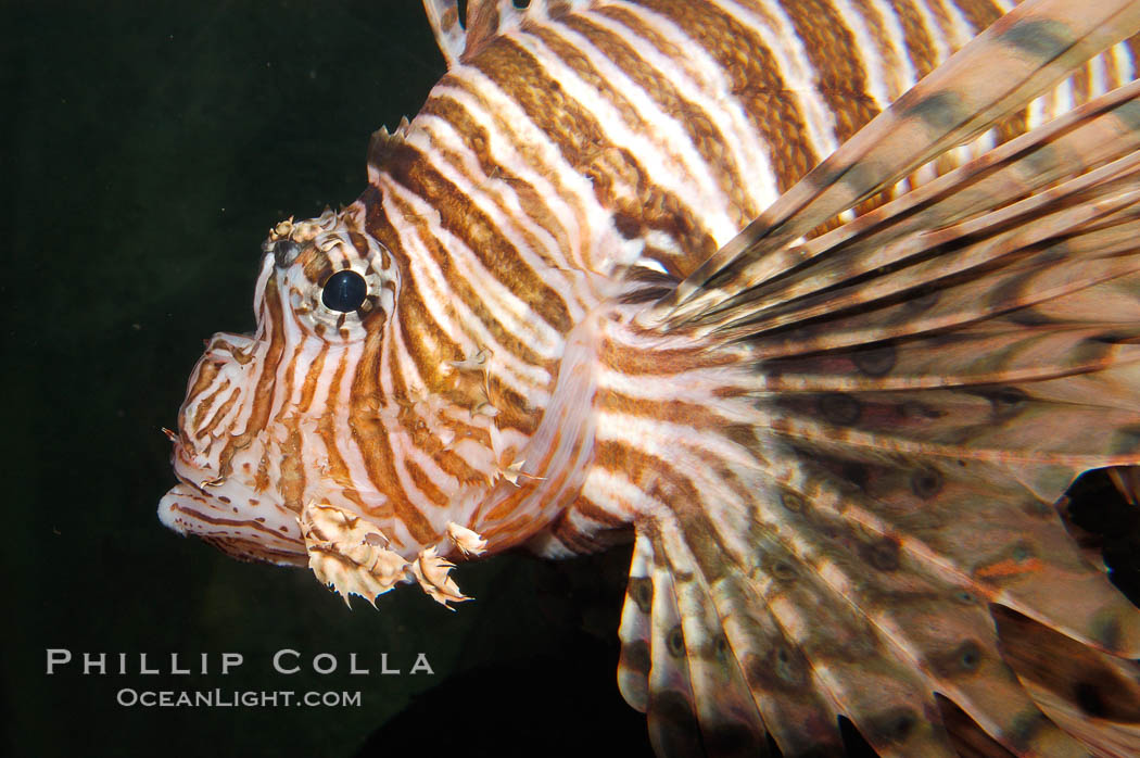 Lionfish., Pterois volitans, natural history stock photograph, photo id 08865