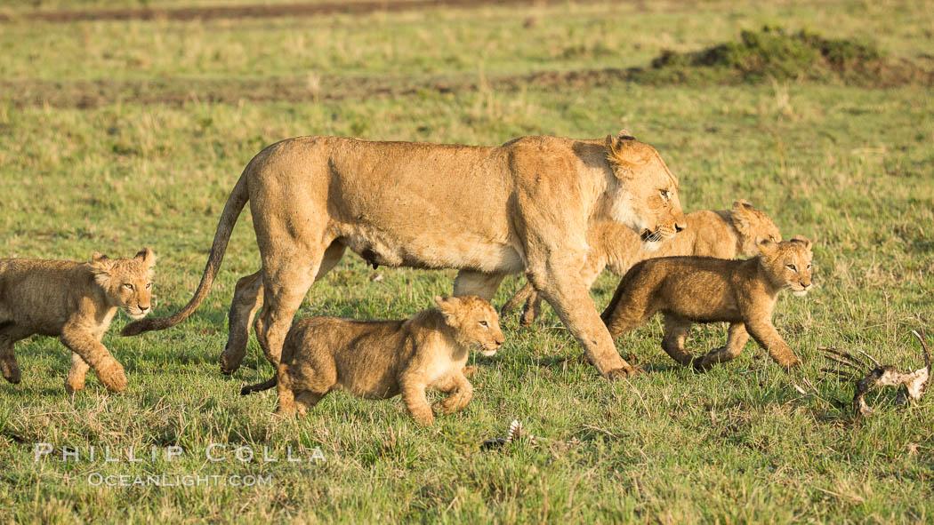 Lionness and cubs, Maasai Mara National Reserve, Kenya, Panthera leo