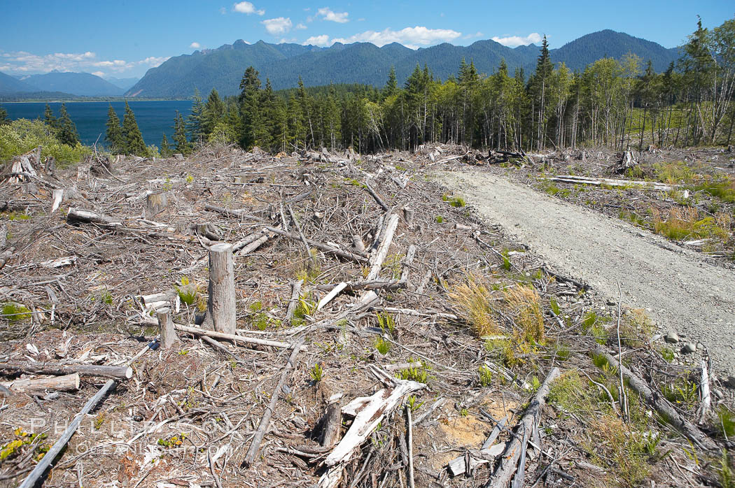 Logging companies have clear cut this forest near Lake Quinalt, leaving wreckage in their wake. Olympic National Park, Washington, USA, natural history stock photograph, photo id 13805
