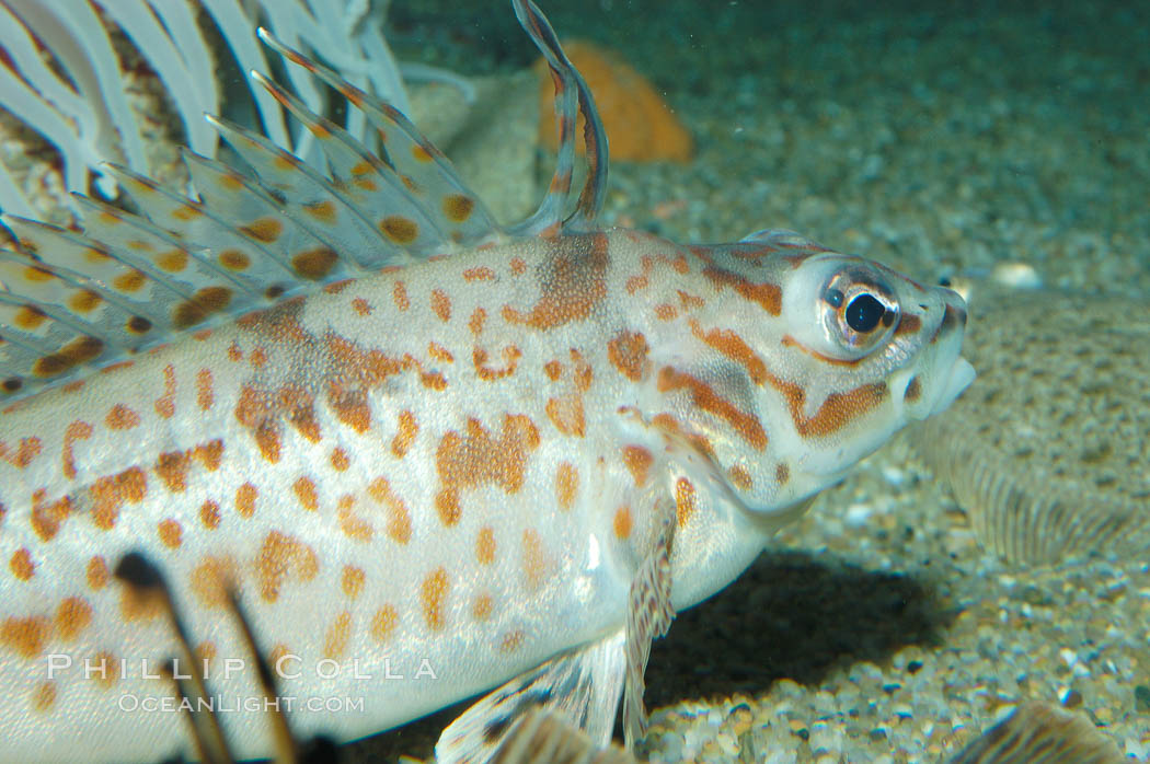 Longspine combfish., Zaniolepis latipinnis, natural history stock photograph, photo id 08948