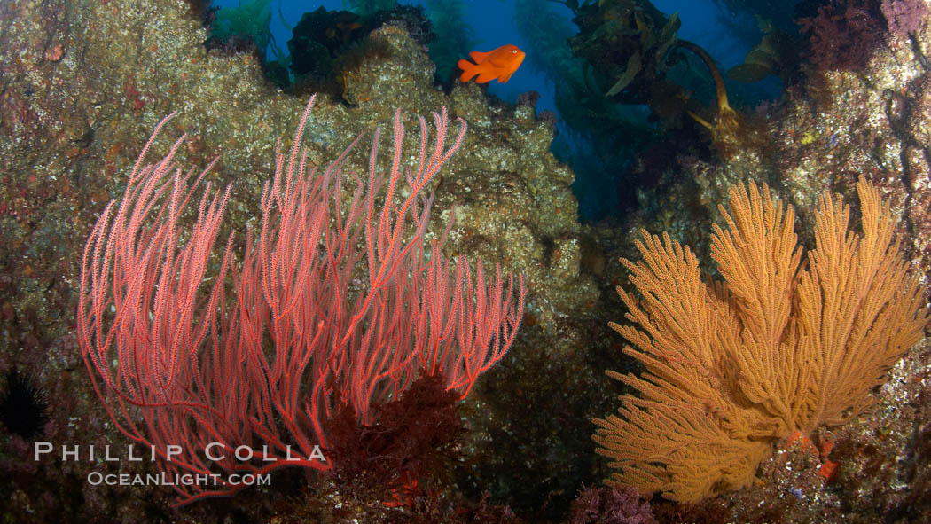 Red gorgonian (left) and California golden gorgonian (right) on rocky reef, below kelp forest, underwater.  Gorgonians are filter-feeding temperate colonial species that live on the rocky bottom at depths between 50 to 200 feet deep.  Each individual polyp is a distinct animal, together they secrete calcium that forms the structure of the colony. Gorgonians are oriented at right angles to prevailing water currents to capture plankton drifting by. San Clemente Island, California, USA, Lophogorgia chilensis, natural history stock photograph, photo id 23452