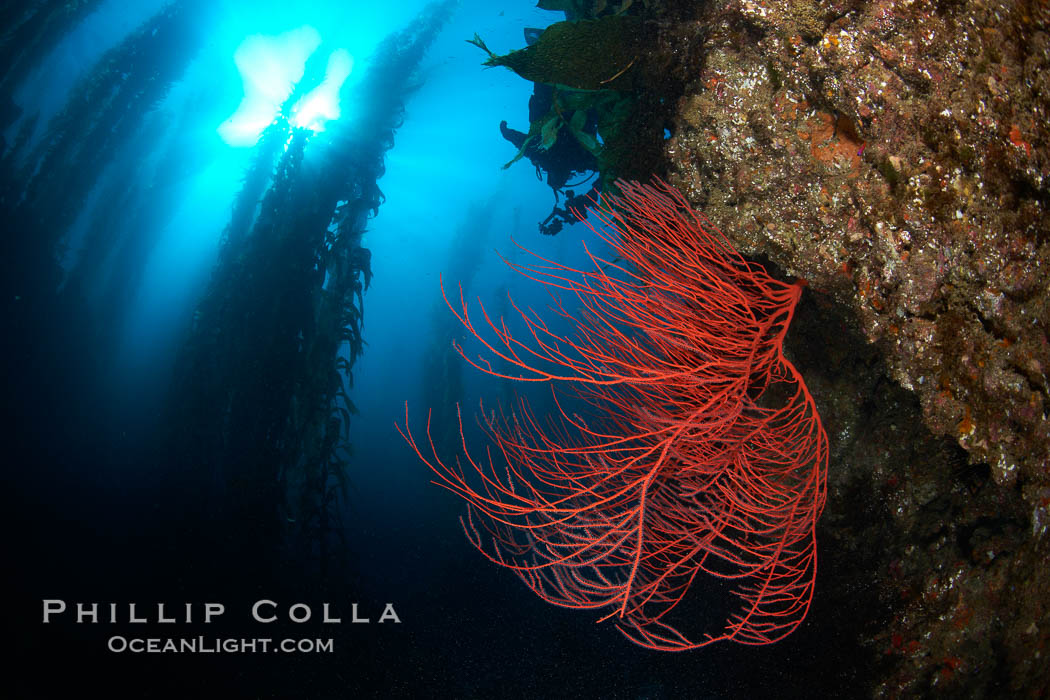 Red gorgonian on rocky reef, below kelp forest, underwater.  The red gorgonian is a filter-feeding temperate colonial species that lives on the rocky bottom at depths between 50 to 200 feet deep. Gorgonians are oriented at right angles to prevailing water currents to capture plankton drifting by. San Clemente Island, California, USA, Lophogorgia chilensis, Macrocystis pyrifera, natural history stock photograph, photo id 23471