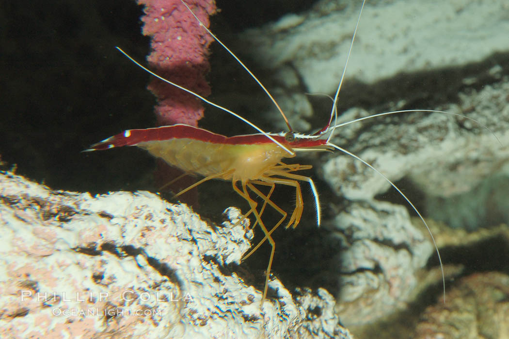 Cleaner shrimp., Lysmata amboinensis, natural history stock photograph, photo id 08676