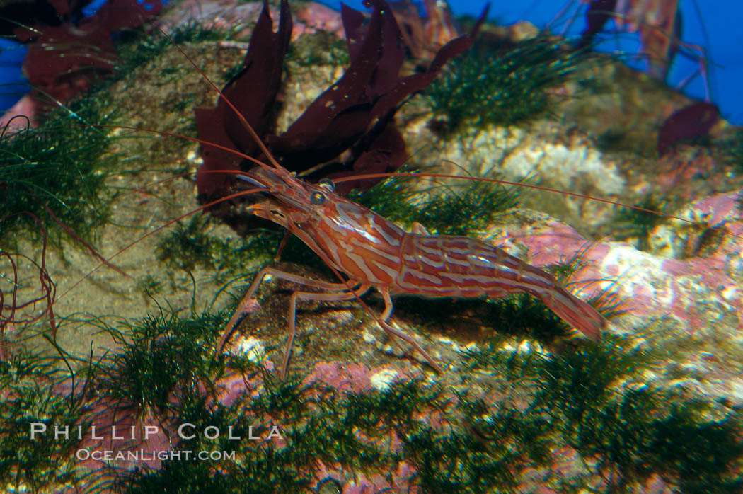 Red rock shrimp., Lysmata californica, natural history stock photograph, photo id 08638