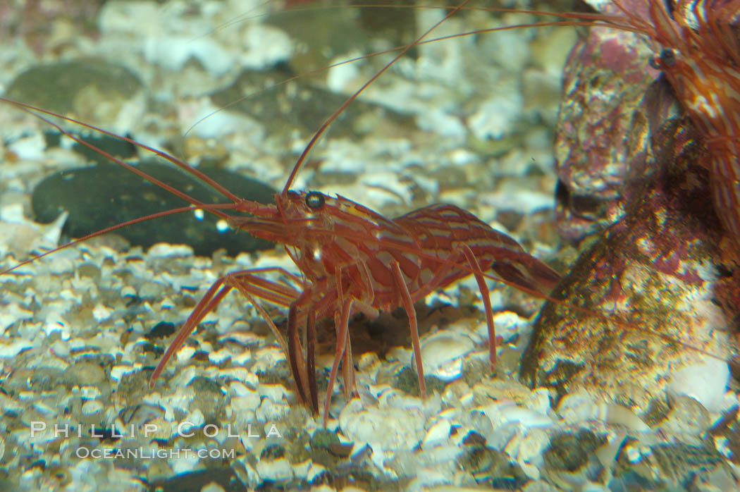 Red rock shrimp., Lysmata californica, natural history stock photograph, photo id 08644