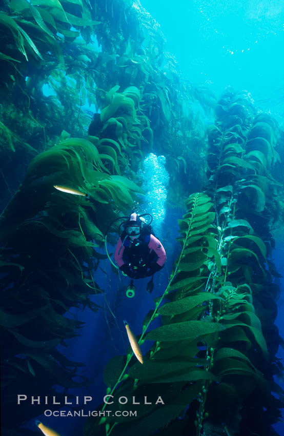 Diver amid kelp forest. San Clemente Island, California, USA, Macrocystis pyrifera, natural history stock photograph, photo id 03156
