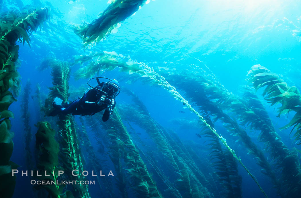 Diver amidst kelp forest., Macrocystis pyrifera,  Copyright Phillip Colla, image #03420, all rights reserved worldwide.