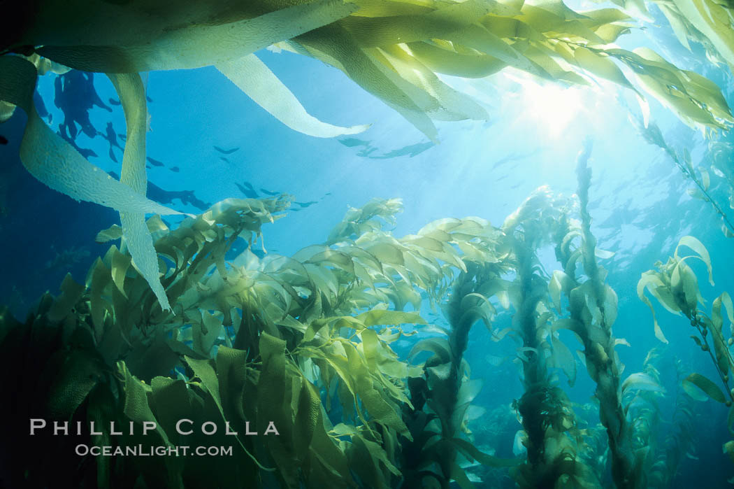 A kelp forest, with sunbeams passing through kelp fronds.  Giant kelp, the fastest growing plant on Earth, reaches from the rocky bottom to the ocean's surface like a terrestrial forest. San Clemente Island, California, USA, Macrocystis pyrifera, natural history stock photograph, photo id 02411