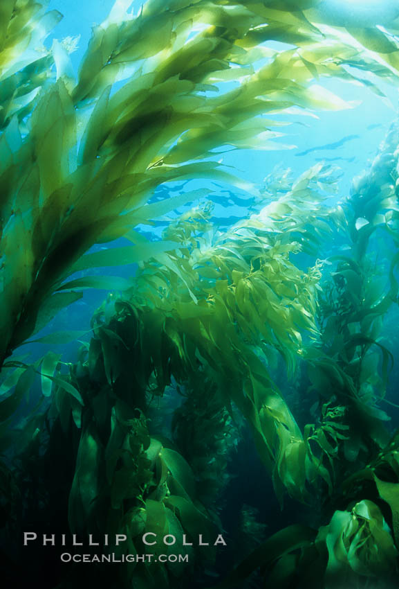 Kelp forest., Macrocystis pyrifera,  Copyright Phillip Colla, image #02409, all rights reserved worldwide.