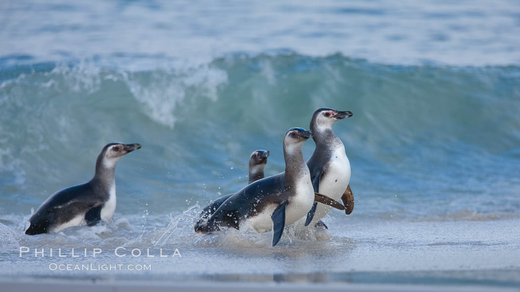 "Magellanic penguins, coming ashore on a sandy beach.  Magellanic penguins can grow to 30"" tall, 14 lbs and live over 25 years.  They feed in the water, preying on cuttlefish, sardines, squid, krill, and other crustaceans. New Island, Falkland Islands, United Kingdom, Spheniscus magellanicus, natural history stock photograph, photo id 23926"