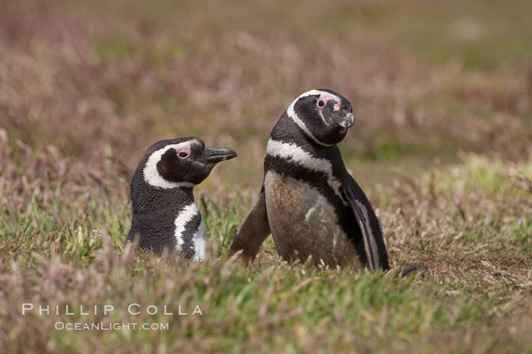 "Magellanic penguins, in grasslands at the opening of their underground burrow.  Magellanic penguins can grow to 30"" tall, 14 lbs and live over 25 years.  They feed in the water, preying on cuttlefish, sardines, squid, krill, and other crustaceans. New Island, Falkland Islands, United Kingdom, Spheniscus magellanicus, natural history stock photograph, photo id 23774"
