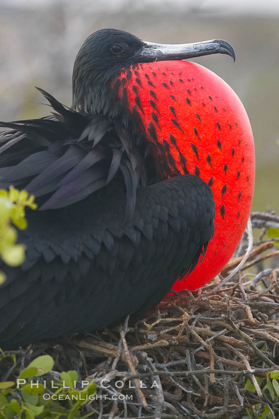 Magnificent frigatebird, adult male on nest, with throat pouch inflated, a courtship display to attract females., Fregata magnificens,  Copyright Phillip Colla, image #16725, all rights reserved worldwide.