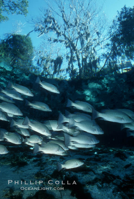 Mangrove snapper. Three Sisters Springs, Crystal River, Florida, USA, Lutjanus griseus, natural history stock photograph, photo id 02682