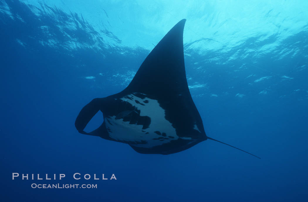 Manta ray, Isla San Benedicto., Manta birostris, natural history stock photograph, photo id 05759