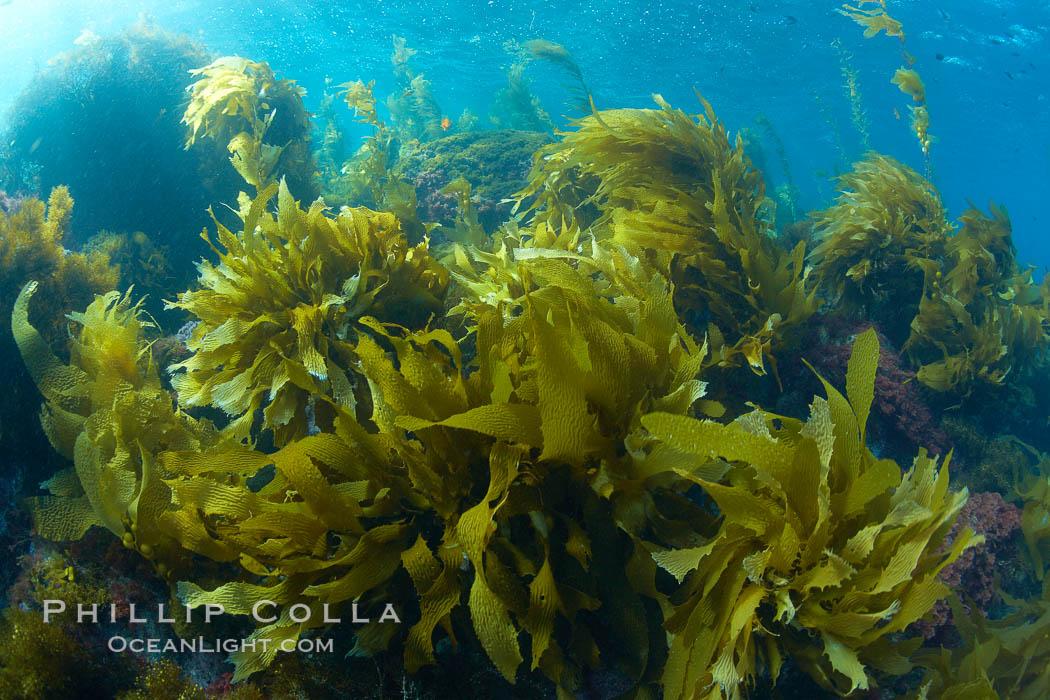 Marine Algae Photo, Stock Photo of Marine algae, Phillip ...
